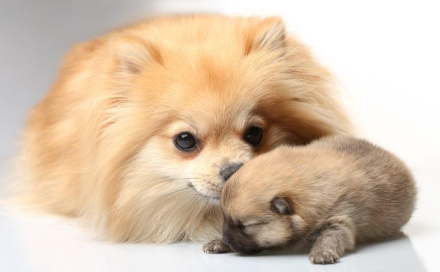 Pomeranian mom with Pomeranian puppy