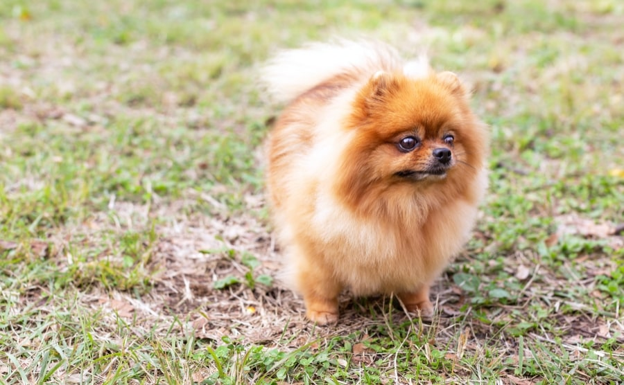 Pomeranian in grass