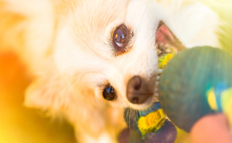 Pomeranian pulling chew toy