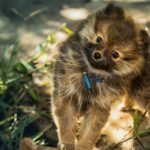 What Size Collar Should You Get a Pomeranian Puppy?
