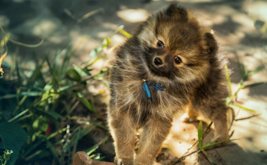 Pomeranian puppy wearing a collar