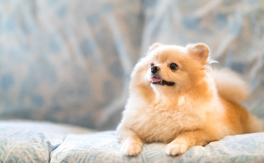 Pomeranian sitting on couch