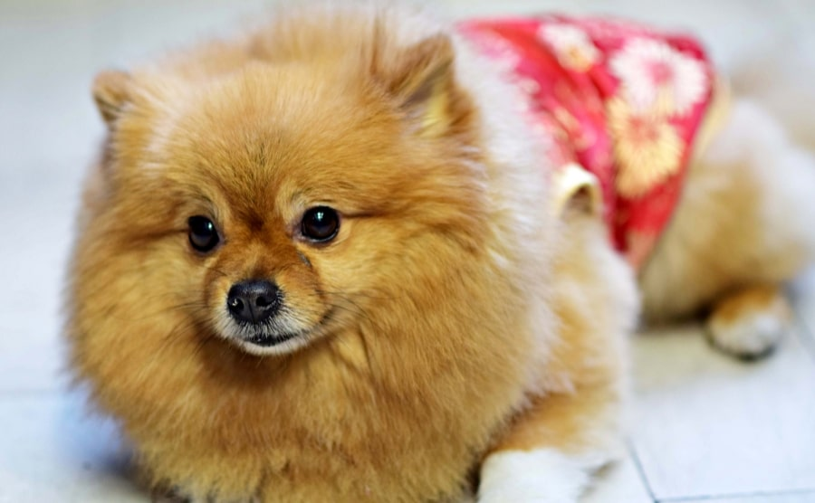 Pomeranian wearing a skirt