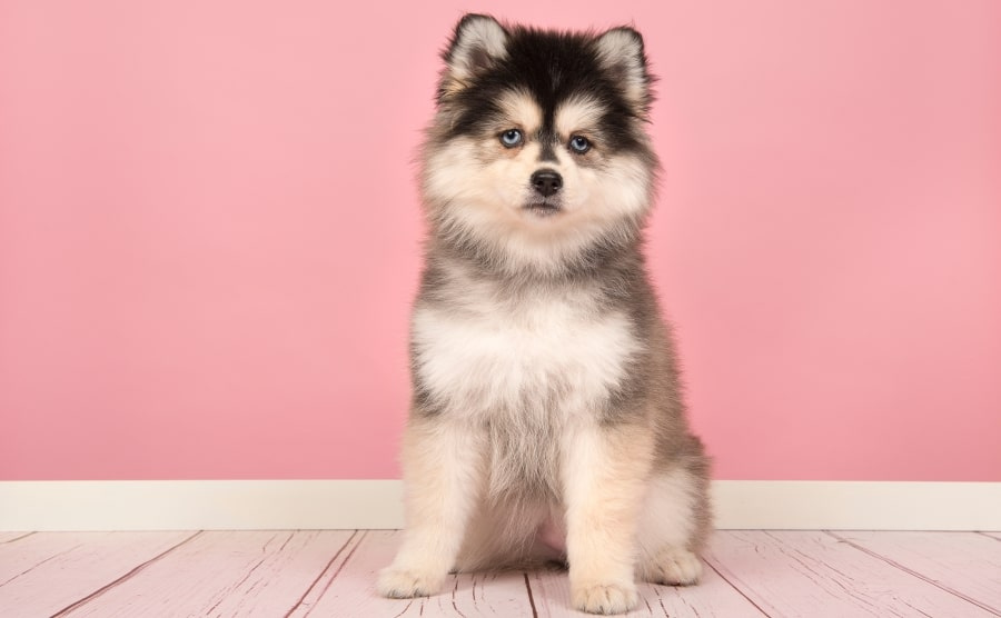Pomsky sitting alone
