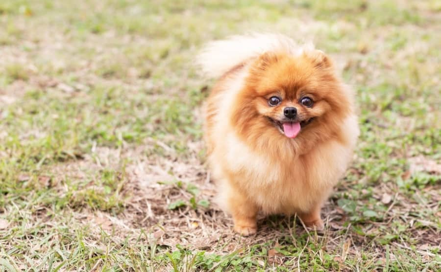 Smiling Pomeranian in grass