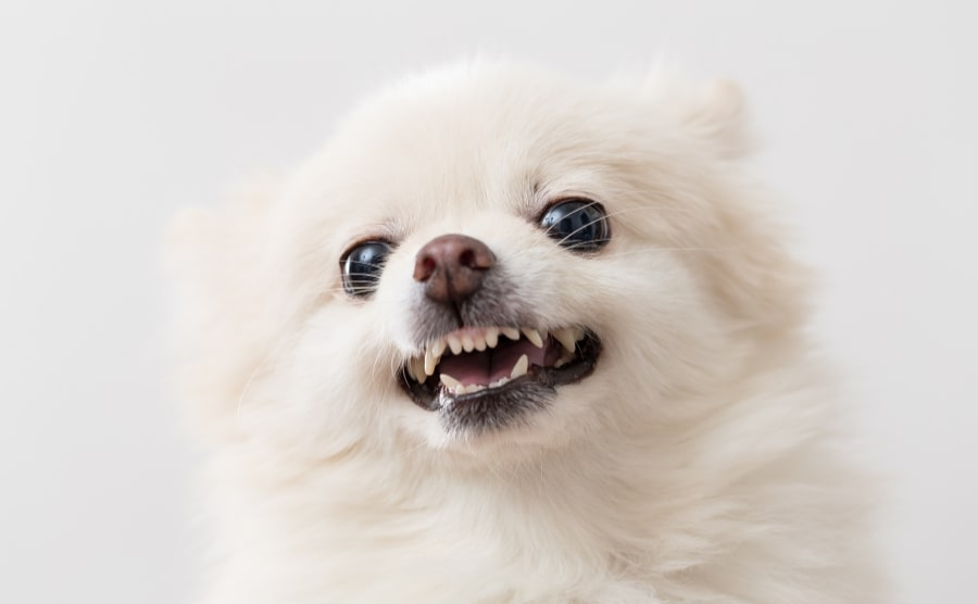 White Pomeranian teething