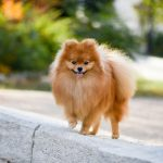 How Old Does a Pomeranian Have to Be to Breed?