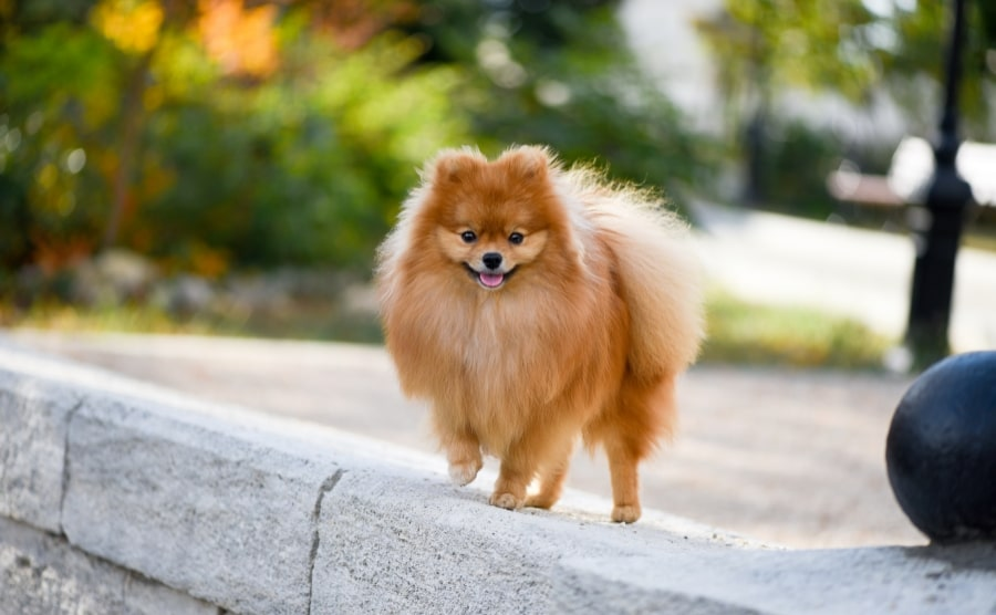 Pomeranian on pavement
