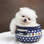 What You Need to Know About Pomeranian Puppies