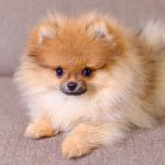 When Do Pomeranian Puppies Shed?