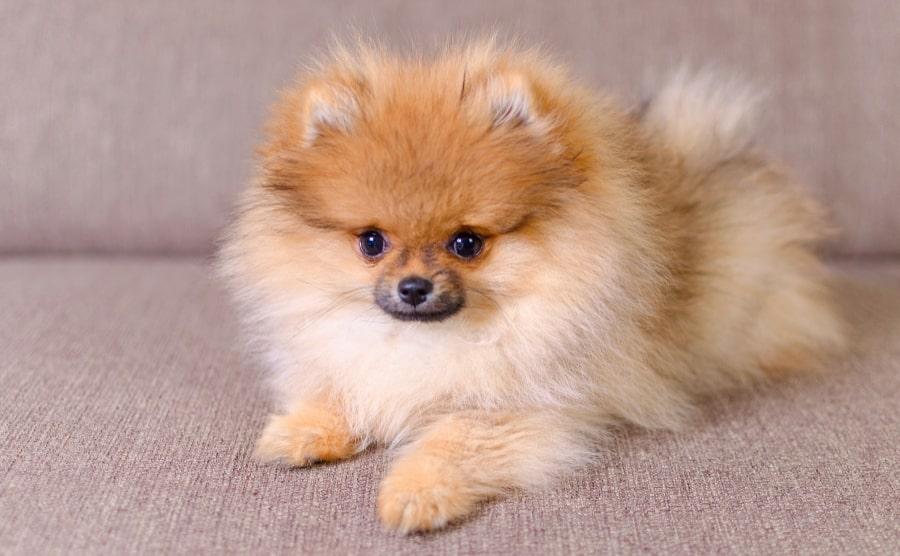 Pomeranian puppy sitting down