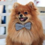 What's the Best Age to Neuter a Pomeranian?