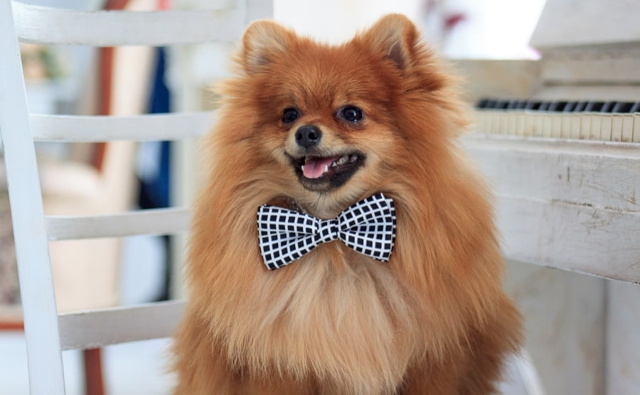 Pomeranian with bow tie