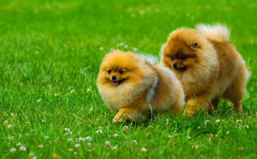 Two Pomeranians walking in grass