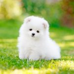 What Do You Need for a Pomeranian Puppy?