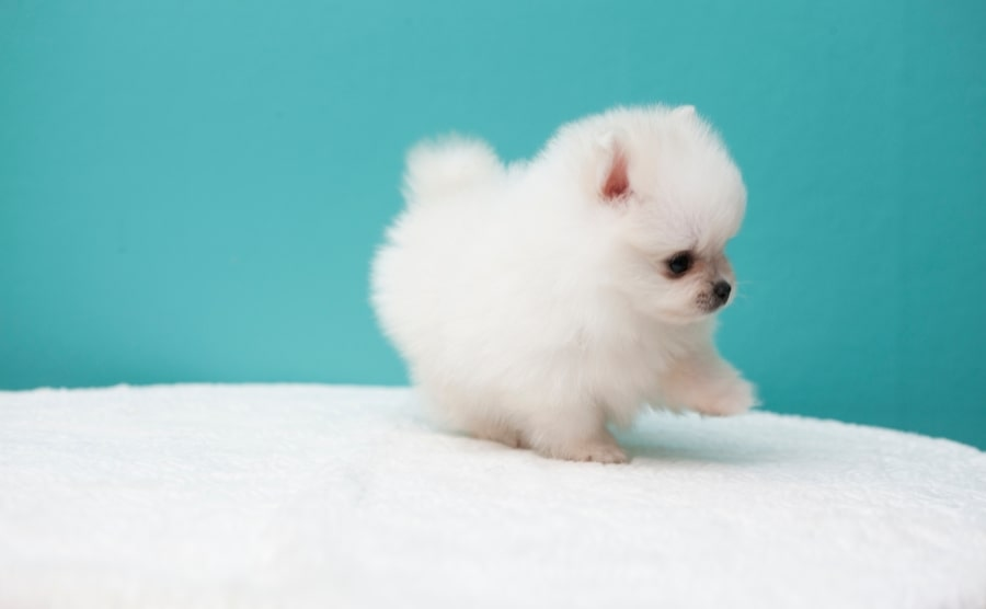 White Pomeranian puppy on a bed