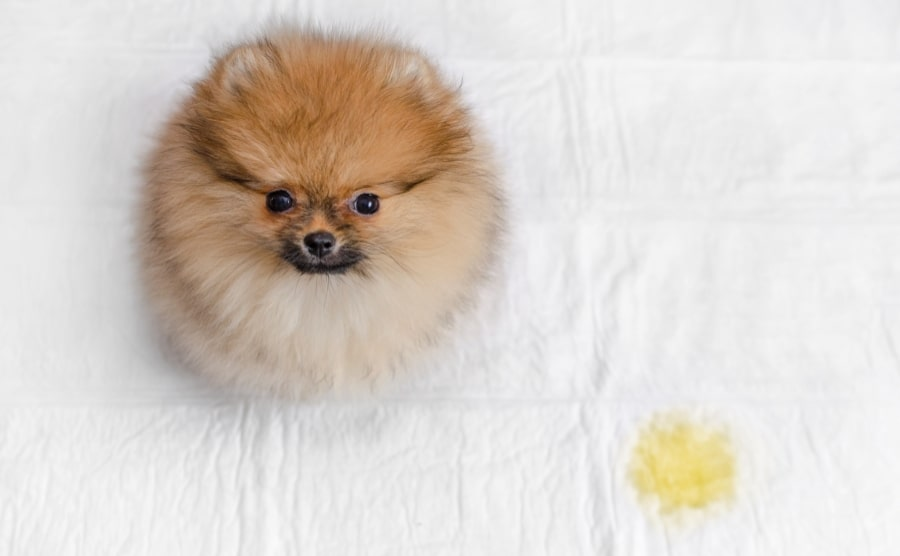 Pomeranian potty pee pad