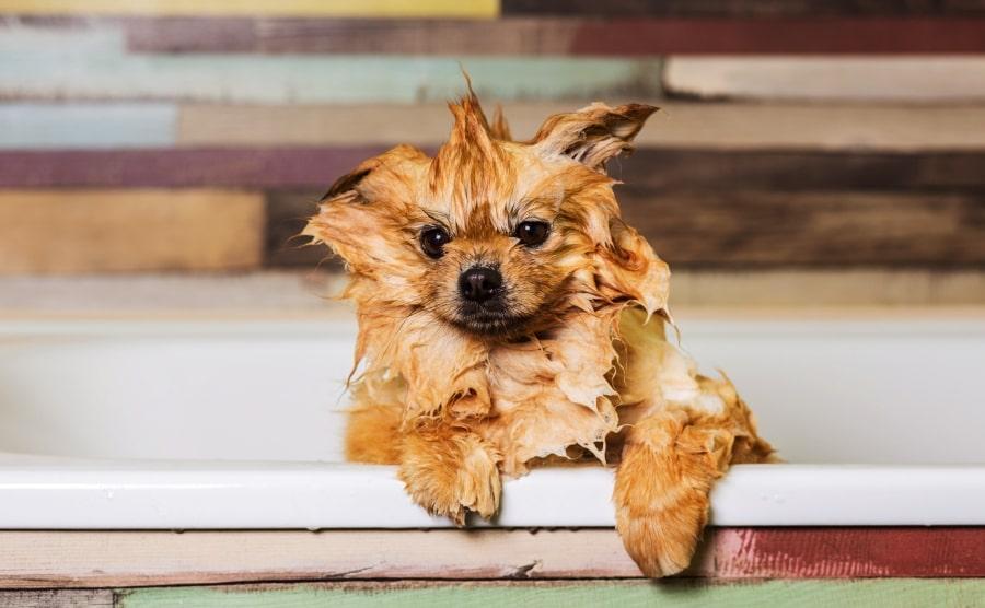 Pomeranian puppy bathing