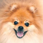 What Is the Pomeranian Teething Age?