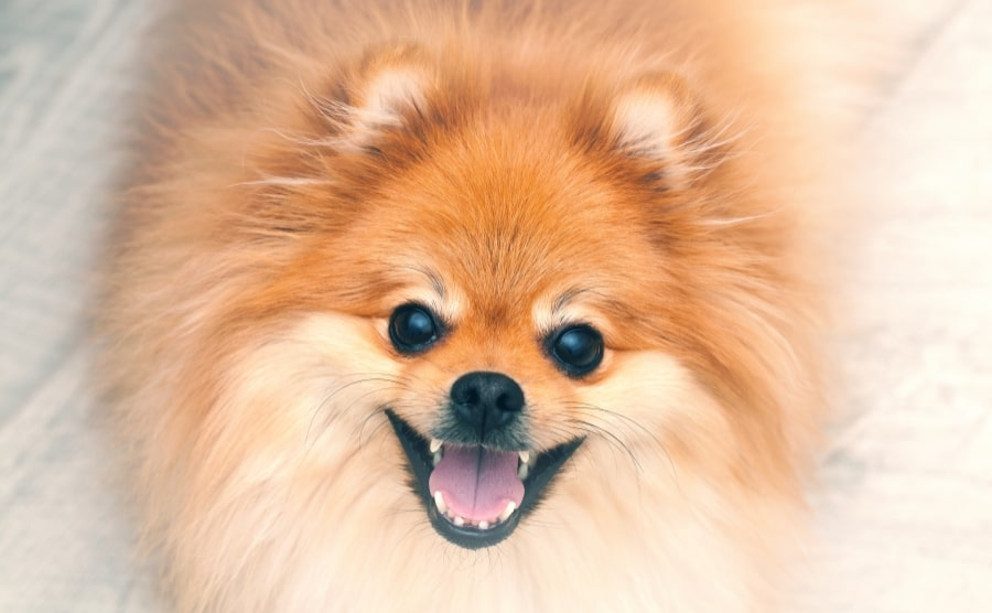 Pomeranian smiling with teeth