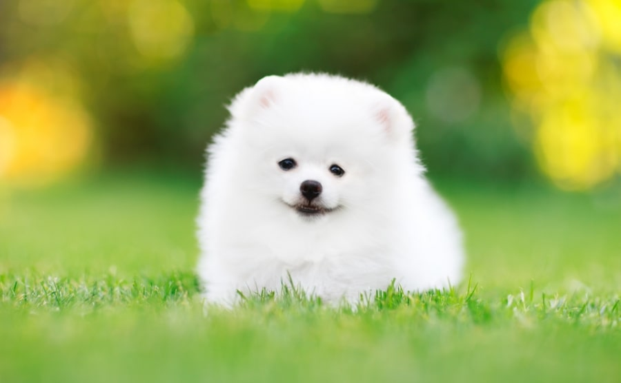 White Pomeranian puppy in grass