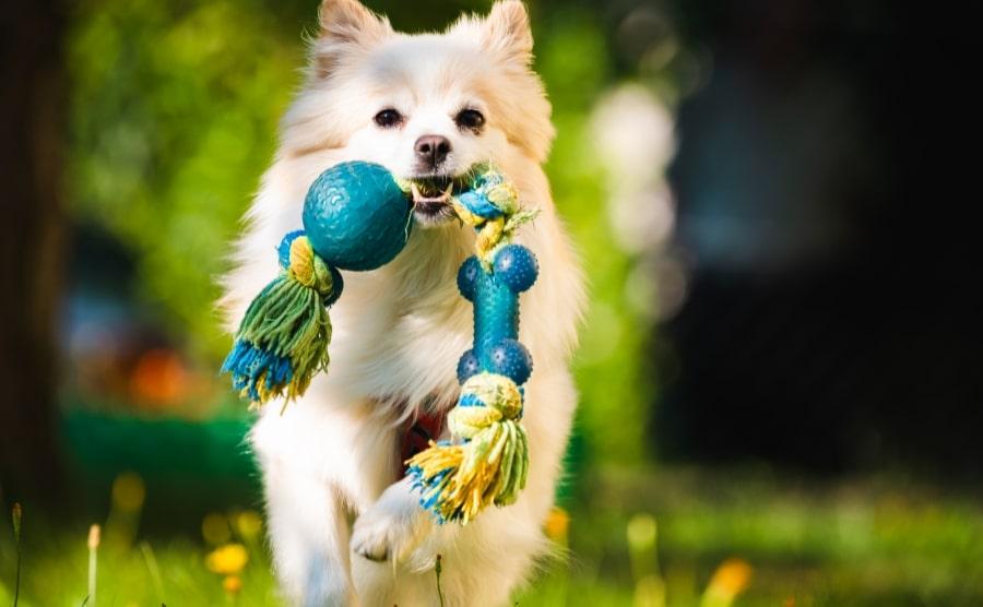 White Pomeranian with chew toy