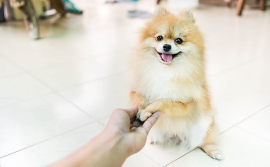 Pomeranian paws in hand