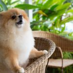 How to Train a Pomeranian Puppy Not to Bark