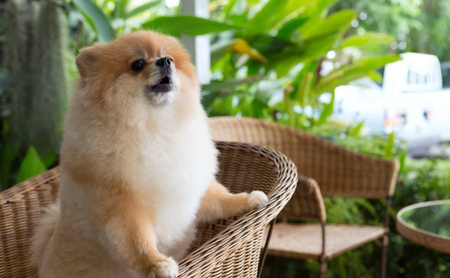 Pomeranian puppy barking