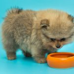 How Often Should Pomeranian Puppies Eat?