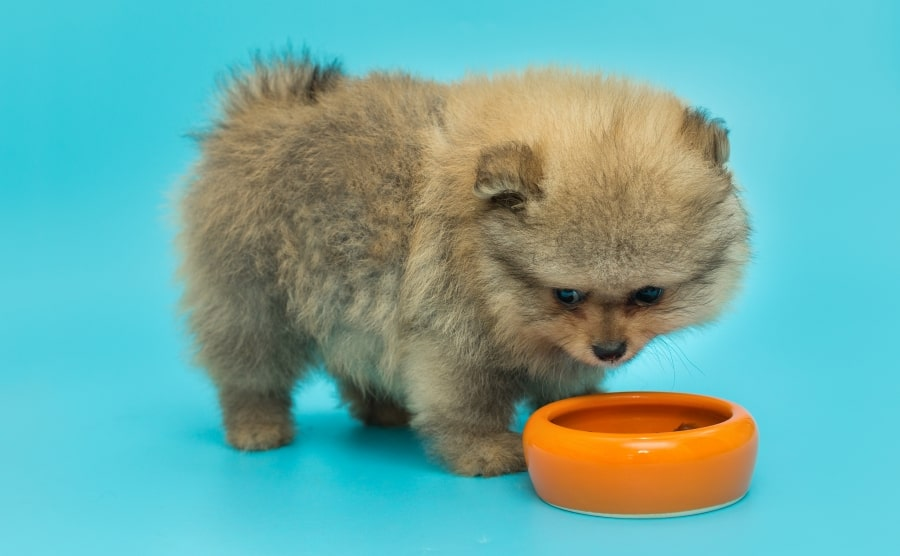 Pomeranian puppy eating