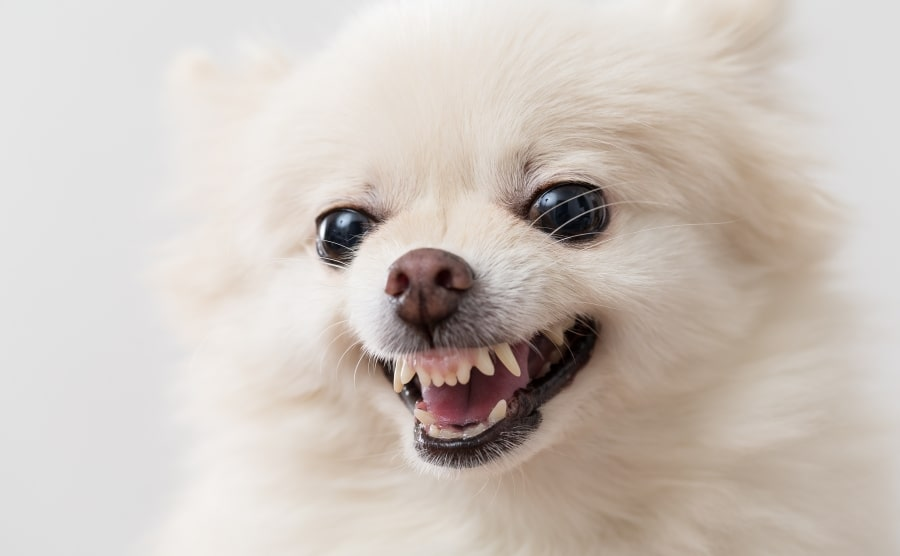 Pomeranian puppy ready to bite
