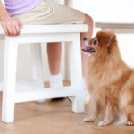 How to Train a Pomeranian Puppy to Sit