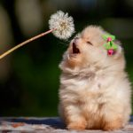 What to Look for When Buying a Pomeranian Puppy