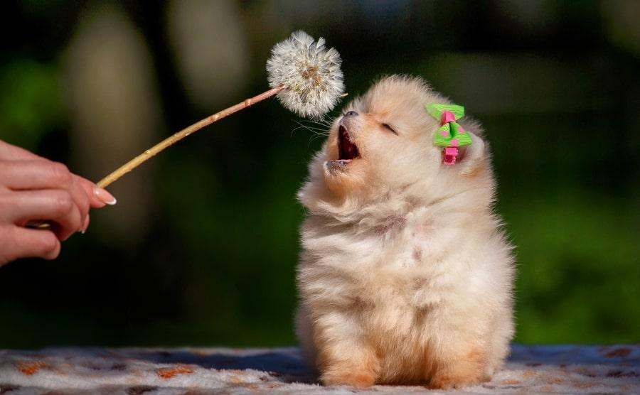 Pomeranian puppy sniffing flower