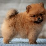 When Should I Start Training My Pomeranian Puppy?