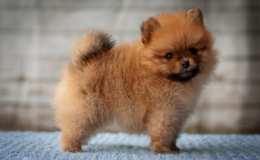 Pomeranian puppy standing