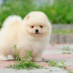 What Does a Pomeranian Puppy Look Like?