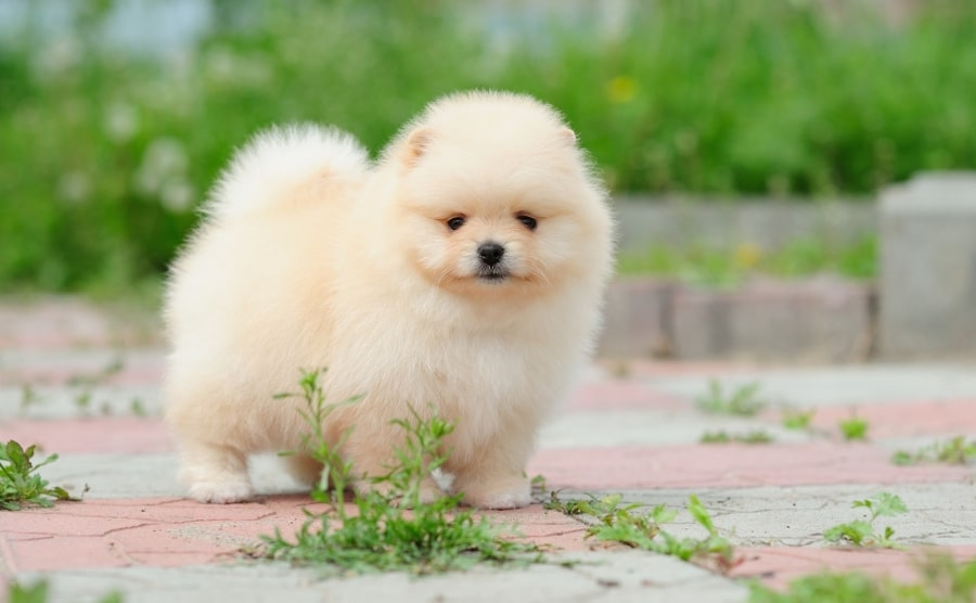Pomeranian puppy walking