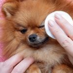 How to Clean Pomeranian Tear Stains