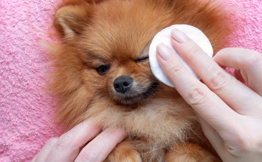 Tear stain remover for Pomeranian