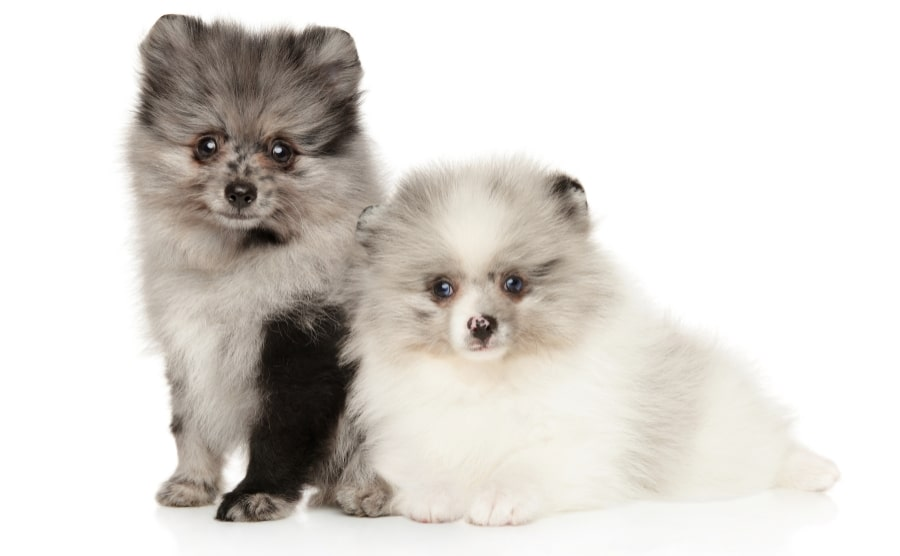 Two marble colored Pomeranian puppies