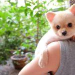 Do Pomeranians Like to Be Held?
