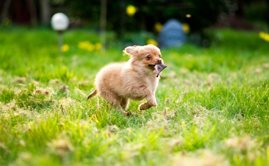 Pomchi running in grass