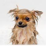 When Should I Bathe My Pomeranian Puppy?