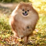 Why Do Pomeranians Spin in Circles?