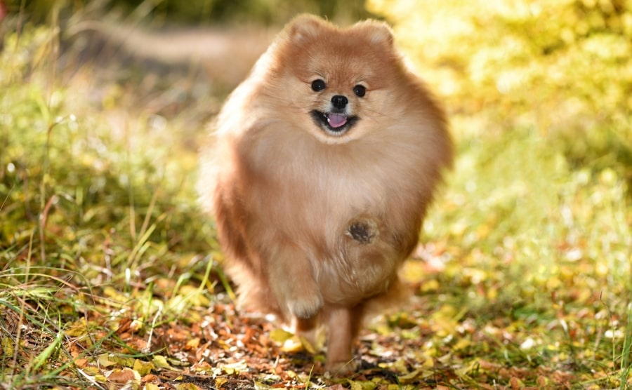 Pomeranian running forward