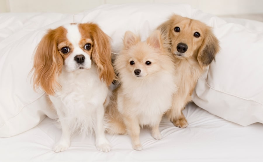 Pomeranian with other dogs