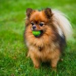 8 Tips on What Pomeranians Like to Play With