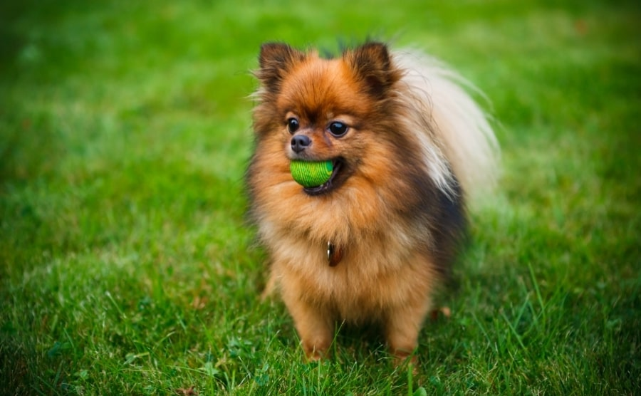 Pomeranian with tennis ball